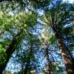 Giant sequoias and other large trees are described as colosses végétales in a recent Science & Vie article.